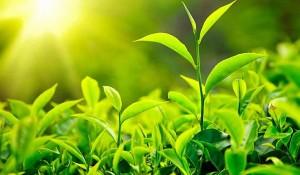 зеленый чай 1
